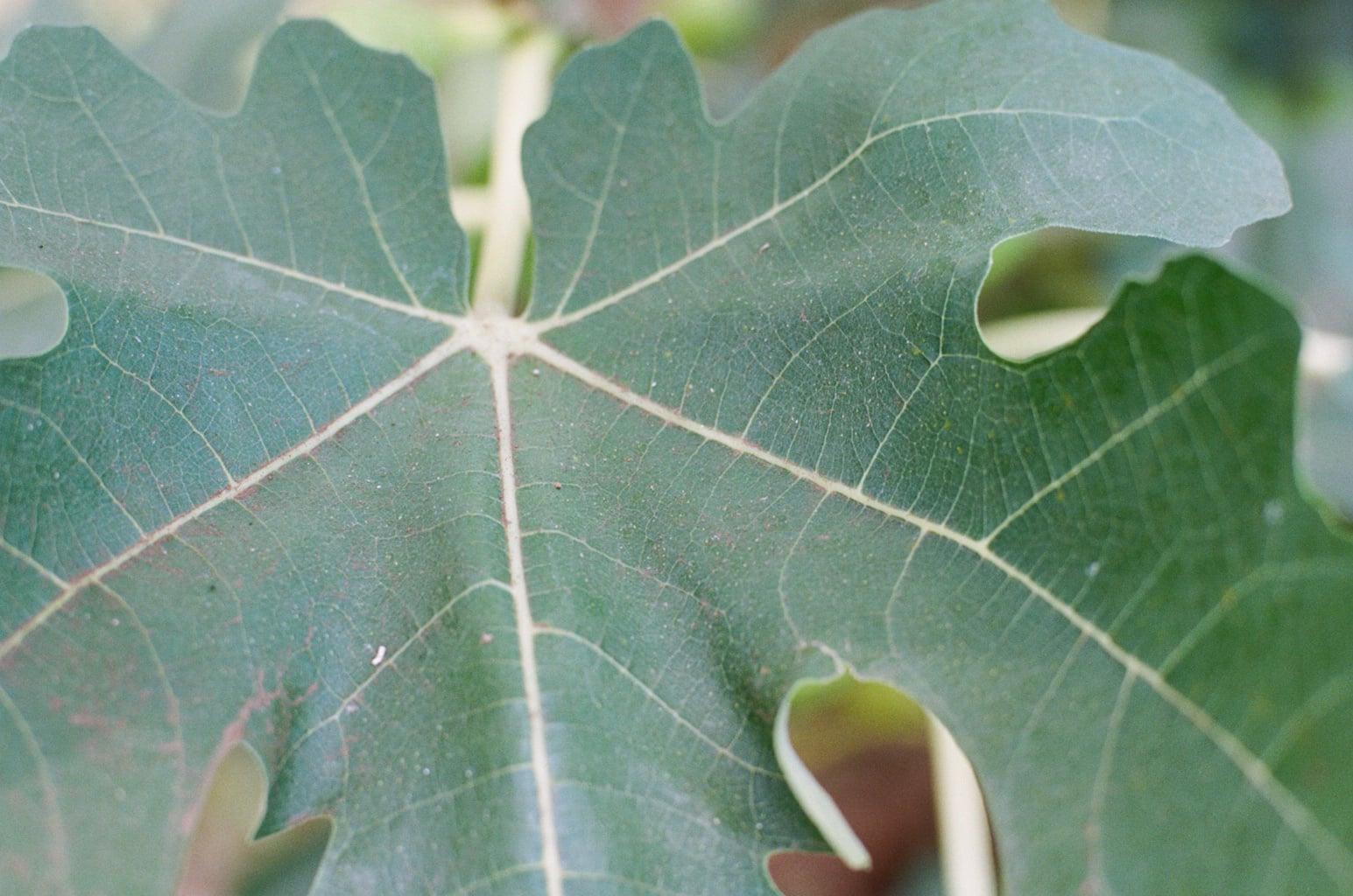 白露の季節、無花果(いちじく)の大きな葉にも露を結ぶ