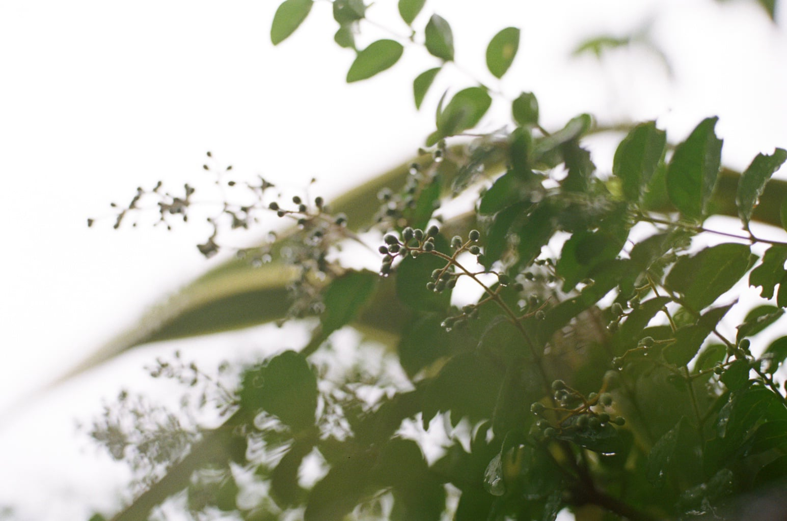 秋の七草の一つでもある萩は丸い葉が特徴