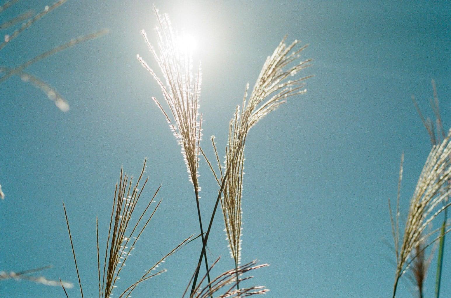 寒露イメージ 陽の光を浴びるススキ