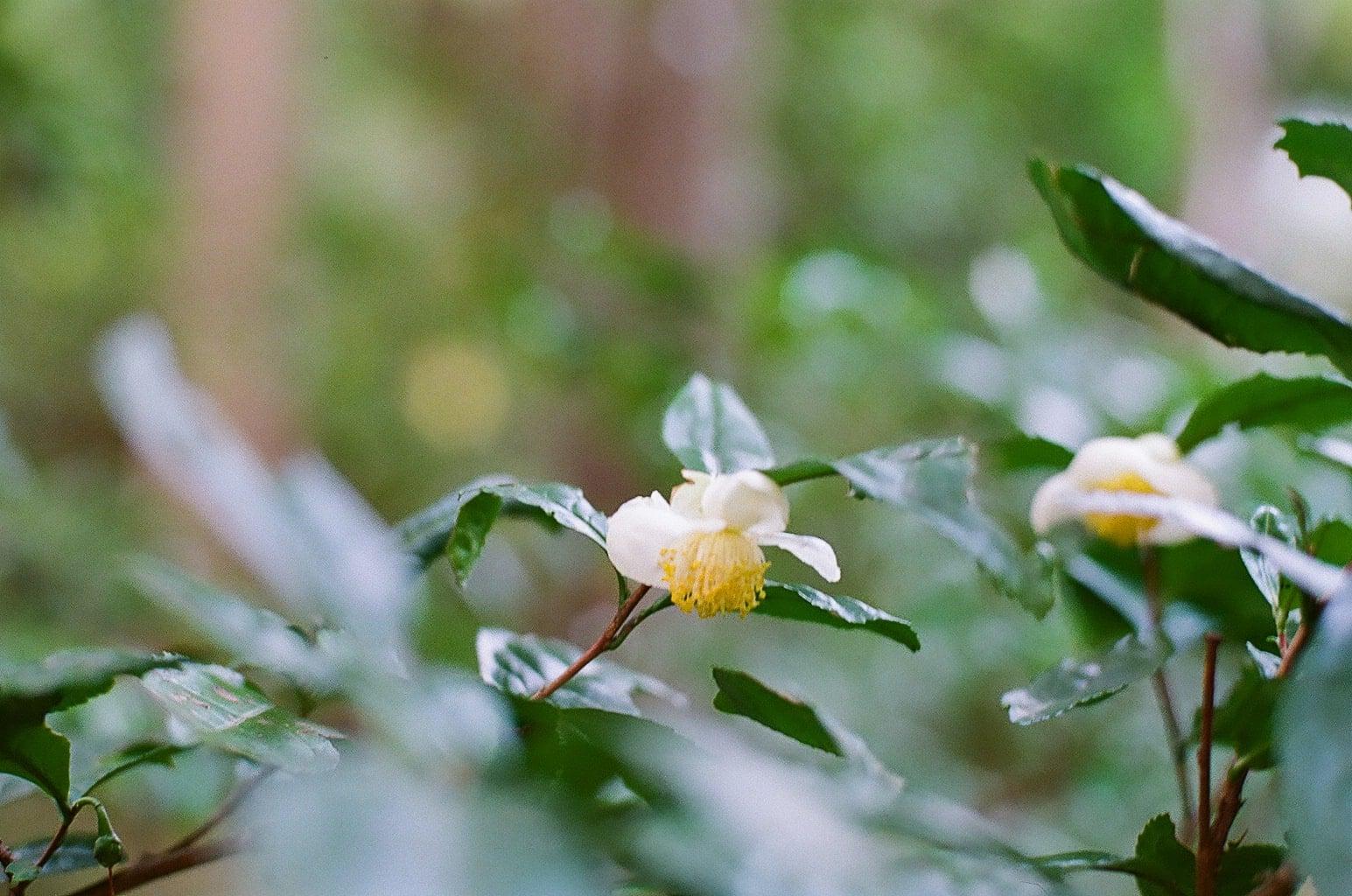 立冬イメージ 白い山茶花